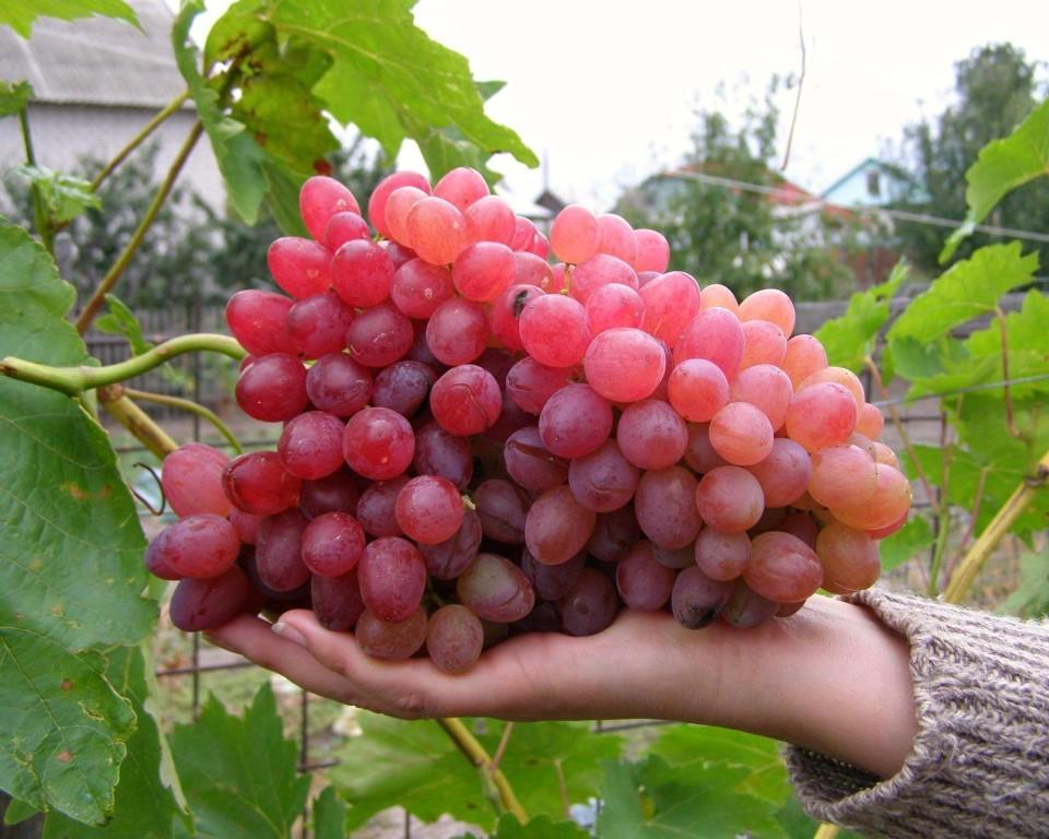 клинические виноград рута описание сорта фото что ригалейру